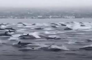 لحظة مرور سرب من الدلافين قبالة سواحل ولاية فلوريدا