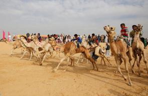 صور من سباف للجمال يقودها صبية مدربون شرق مصر
