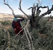 20131023-rabbis-palestinians-olive-harvest