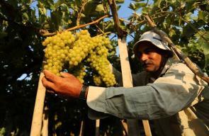 مزارع فلسطيني يقطف كروم العنب من الأراضي الزراعية في غزة
