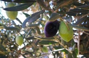 فلسطينيون يستعدون لموسم قطف ثمار الزيتون في بلدة بيت ريما