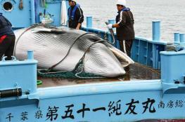 بعد توقف 30 عامًا .. اليابان تستأنف صيد الحيتان
