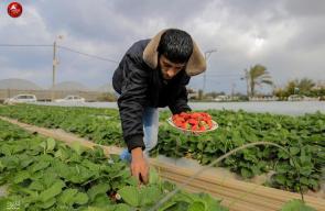 موسم قطف الفراولة في بيت لاهيا شمال قطاع غزة