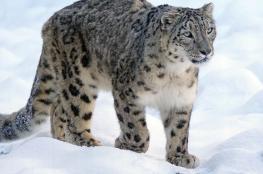 لقطات نادرة لنمور الثلوج المهددة بالانقراض