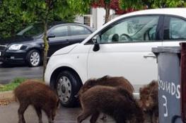 شاهد عشرات الخنازير البرية تجوب شوارع دولة عربية