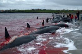 اليابان تقتل 177 حوتا في المحيط الهادي لأغراض علمية