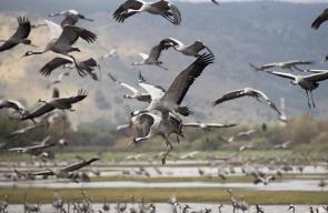 طيور مهاجرة تمر ببحيرة الحولة شمال فلسطين