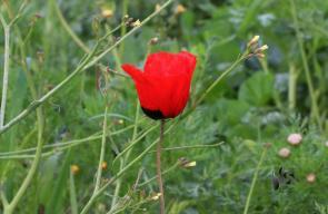 ربيع فلسطين أزهار الحنون