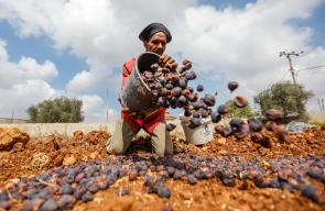 فلسطيني من بلدة سلواد يجمع ثمار التين ويجففه لصناعة القٌطين