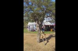 شجرة تمشي وتتحدث مع المارة