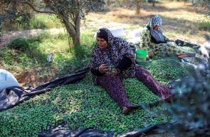 موسم قطف الزيتون في غزة والضفة الغربية