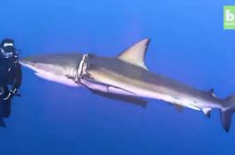 لقطات مذهلة لغواصين ينقذون سمكة قرش مصابة بجروح خطيرة