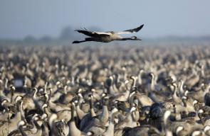 أسراب من الطيور المهاجرة في وادة الحولة بالجليل