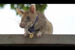 فأر إفريقي يحظى بميدالية ذهبية على مهارته في كشف الألغام