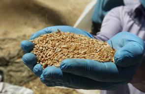 مواطنون يحصدون القمح في مدينة دورا بالخليل ضمن إجراءات الوقاية من انتشار فيروس كورونا