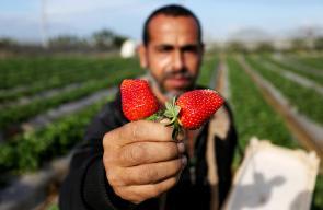 بدء قطف ثمار الفراولة في مدينة بيت لاهيا شمال قطاع غزة