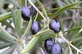 فوائد مذهلة يحققها تناول الزيتون الأسود