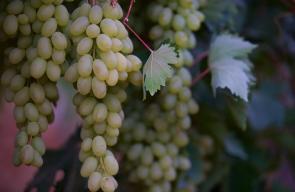 نضوج ثمار العنب الفلسطيني الذي تشتهر به مدن جنوب الضفة