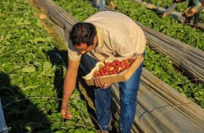 بدء موسم قطف الفراولة في مدينة بيت لاهيا شمال قطاع غزة