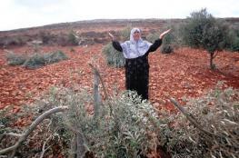 مستوطنون يقطعون 50 شجرة زيتون شرق يطا