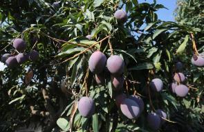 قطف فاكهة المانجا من الأراضي الزراعية في غزة