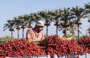 افتتاح موسم جني ثمار البلح في قطاع غزة