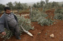 Illegal Israeli colonists cut 30 olive trees near Hebron.