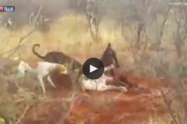 شاهد ما فعلت الكلاب بفهد في ناميبيا