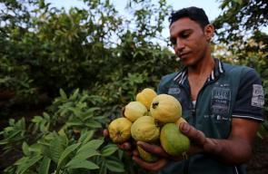 موسم الجوافة في غزة