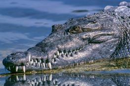 تمساح ضخم يمنع سيارة من المرور في استراليا