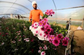 مشاتل الورود والزهور في خانيونس جنوب قطاع غزة