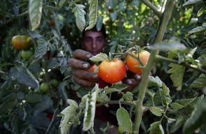 مزارعون فلسطينيون يجمعون الطماطم/البندورة من الأراضي الزراعية في الخليل