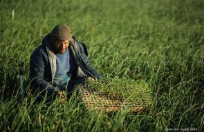 زراعة أشتال البطيخ والفلفل في بيت لاهيا شمال قطاع غزة