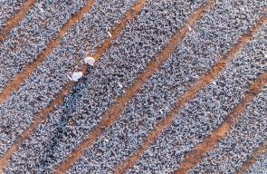 صور جوية لعملية تجفيف السردين في محافظة ظفار بسلطنة عمان و الذي يستخدم كأعلاف للزراعة