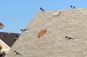 شاهد ما حدث لقطة حاصرتها طيور عدوانية على سطح منزل - CNN Arabic