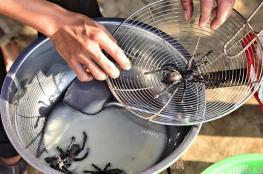 """""""عناكب كبيرة"""".. وجبة محببة وفاخرة في كبموديا"""