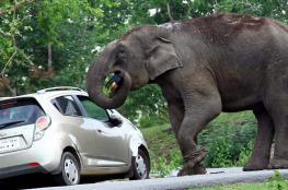فيل ثائر يقتل 14 شخصا في الهند