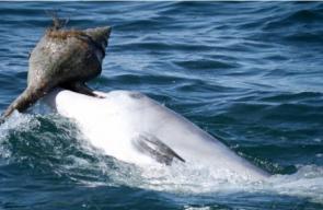 حيلة الدلافين لصيد الأسماك باستخدام صدف المحار