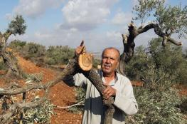 Dozens of Palestinian olive trees destroyed by Israeli settlers