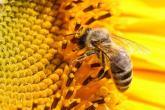 """تعرف على السبب الذي دفع  طالبة أمريكية لاختراع  """"نحلة آلية""""!"""