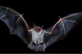 حقائق صادمة عن الخفاش ذلك المخلوق اللطيف
