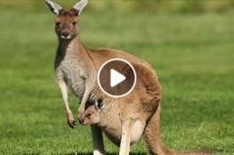 هروب آلاف الكناغر من مزرعة أسترالية