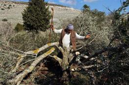 Illegal Colonists Cut Hundreds of Olive Trees Near Hebron
