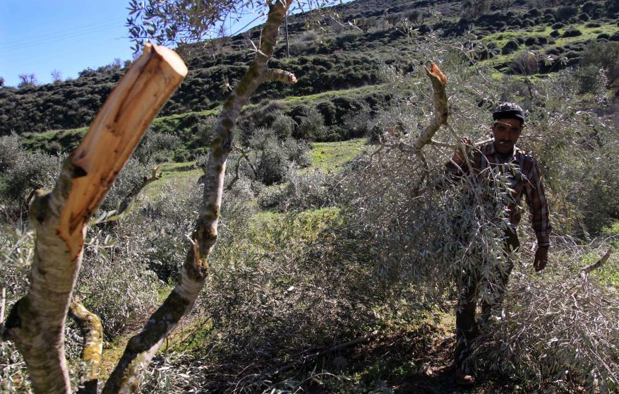 مستوطنون يقطعون 200 شجرة زيتون جنوب نابلس