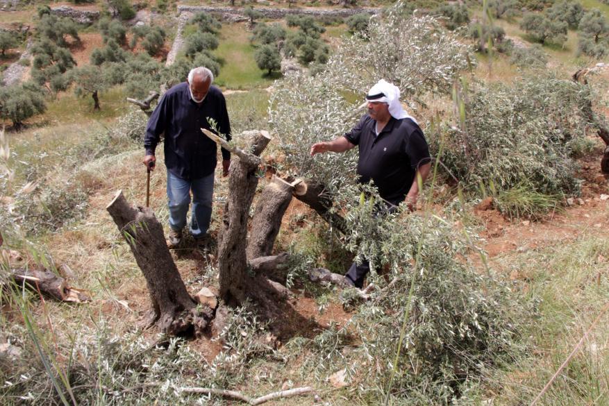 مستوطنون يقطعون عشرات أشجار الزيتون بقرية الولجة في بيت لحم