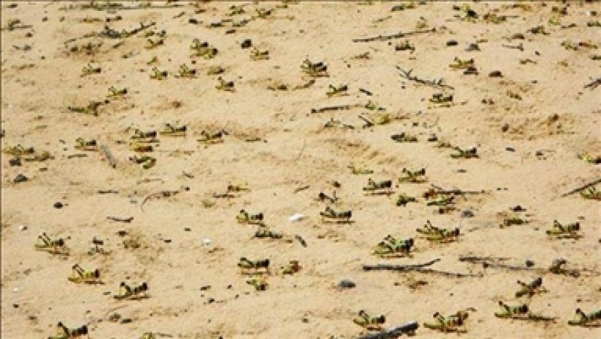 الأردن.. الجيش يكافح الجراد الصحراوي شرقي البلاد
