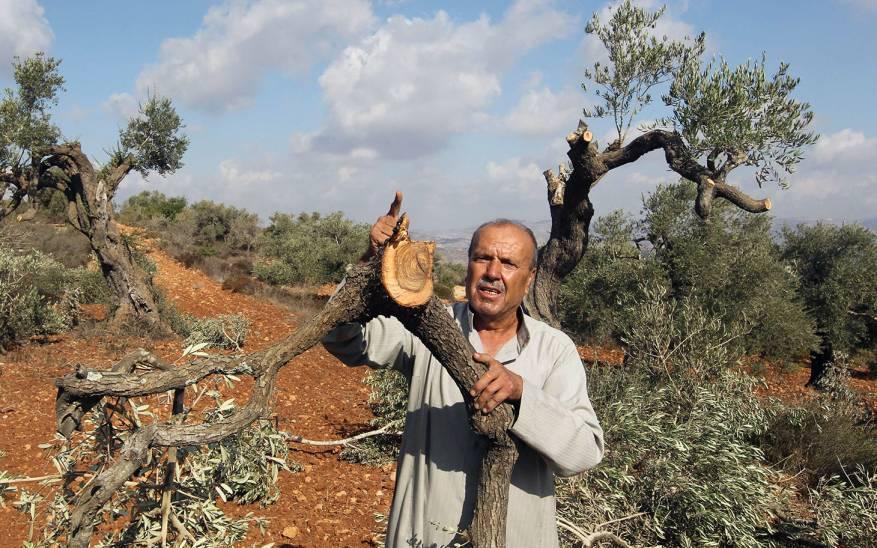 الاحتلال يقتلع 60 شجرة زيتون من أراضي قرية جبع شرق القدس