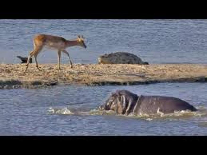 شاهد سباق رهيب بين تمساح وفرس نهر جائعين للنيل من غزال