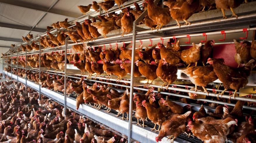 رصد تفش لنوع شديد العدوى من إنفلونزا الطيور في هولندا
