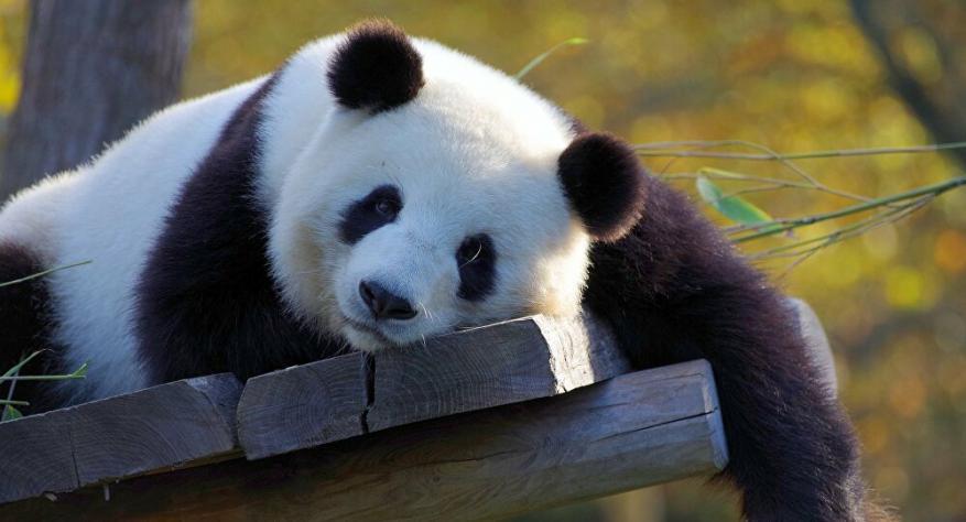الأول في العالم... الصين تنشئ متحف تفاعلي للباندا العملاقة